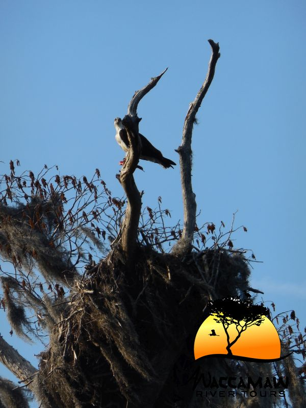 Osprey  by its nest along the Waccamaw River.  Seen during a Nature & Wildlife river boat tour. Photo by Kim Carlson