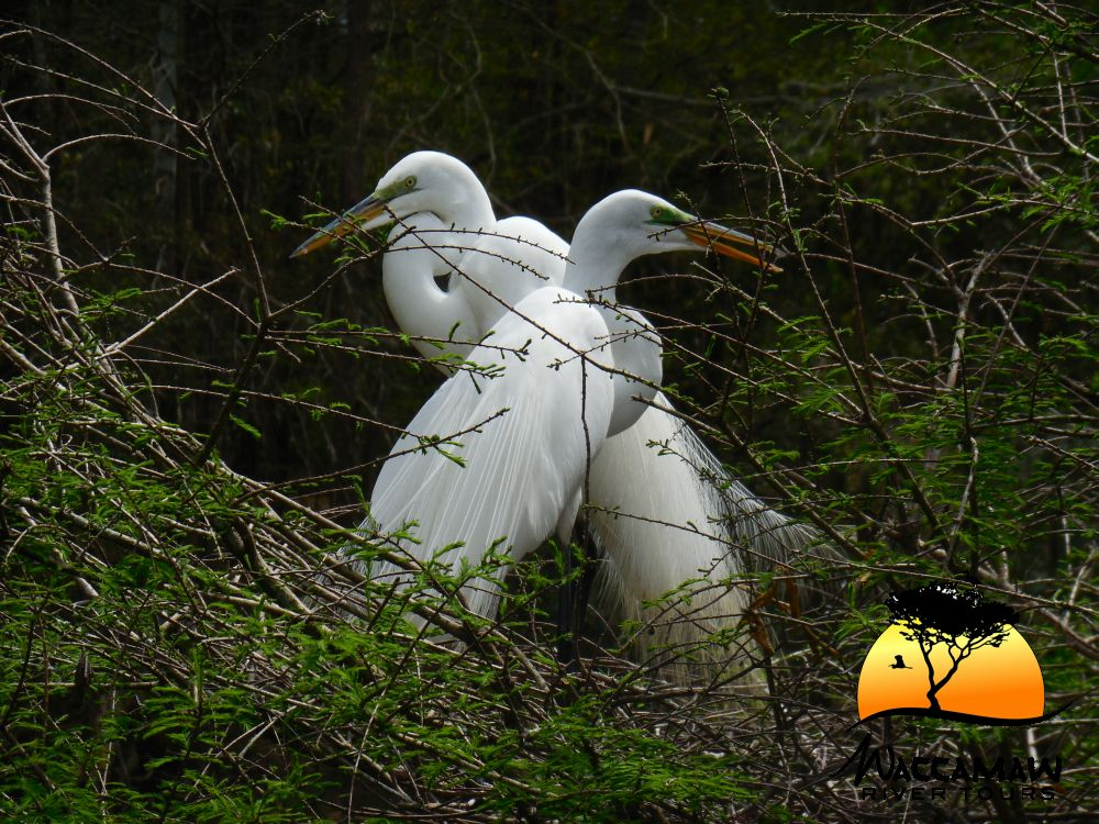 Great Egret pair preparing for parenthood.  The nest is all ready. The male and female have a green coloring around the eyes only during mating season.