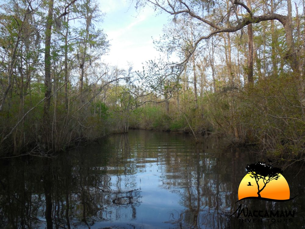 Another beautiful creek along the Waccamaw River.  Come and explore these beautiful creeks and rivers with us at Waccamaw River Tours.
