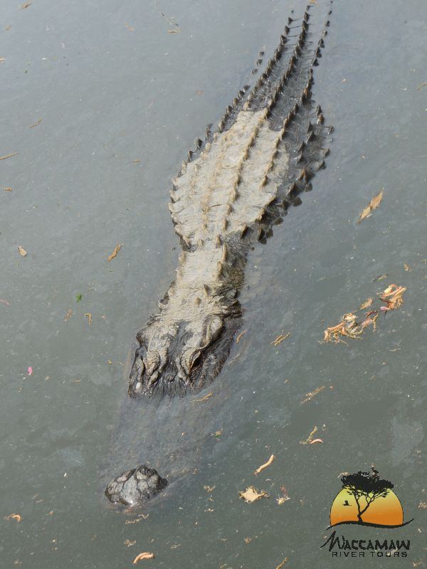 Oh, My a 14ft Alligator!  Waccamaw River Tours.  Photo by Kim Carlson.