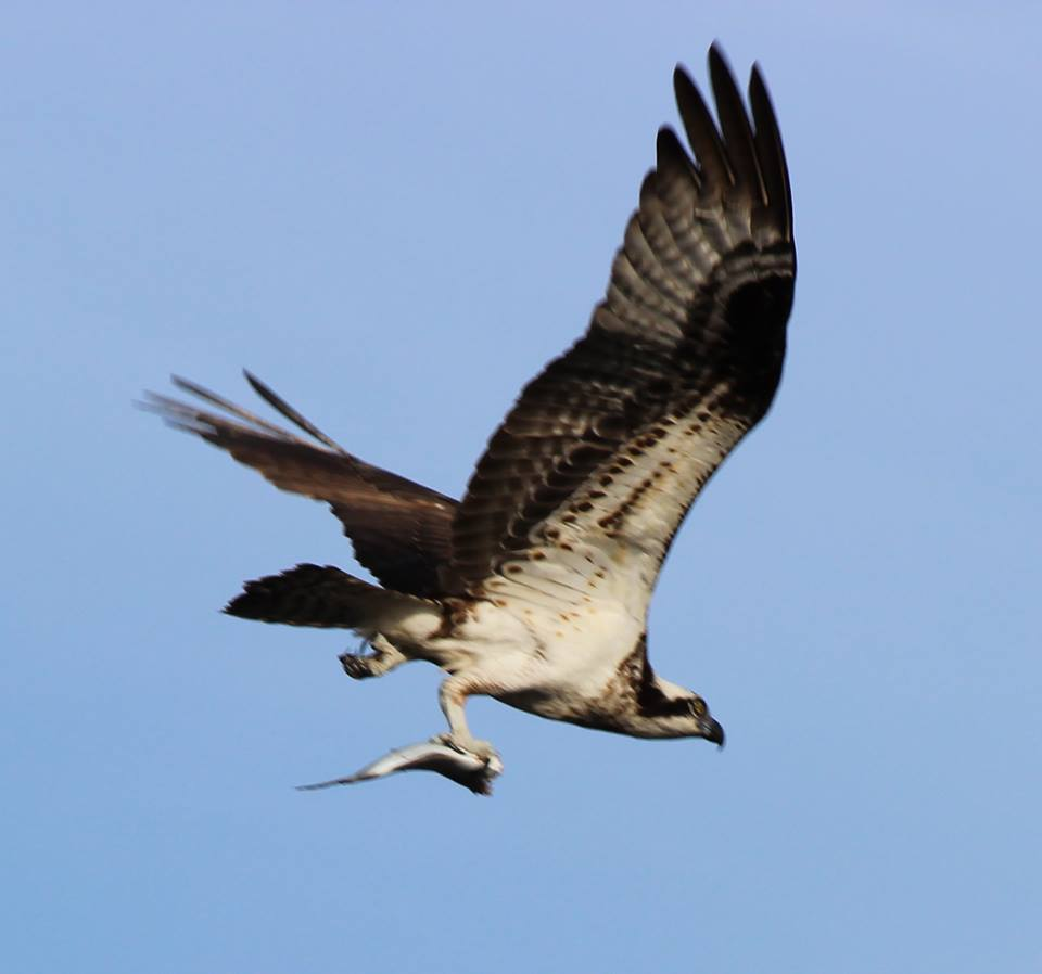Osprey carryng a fish!