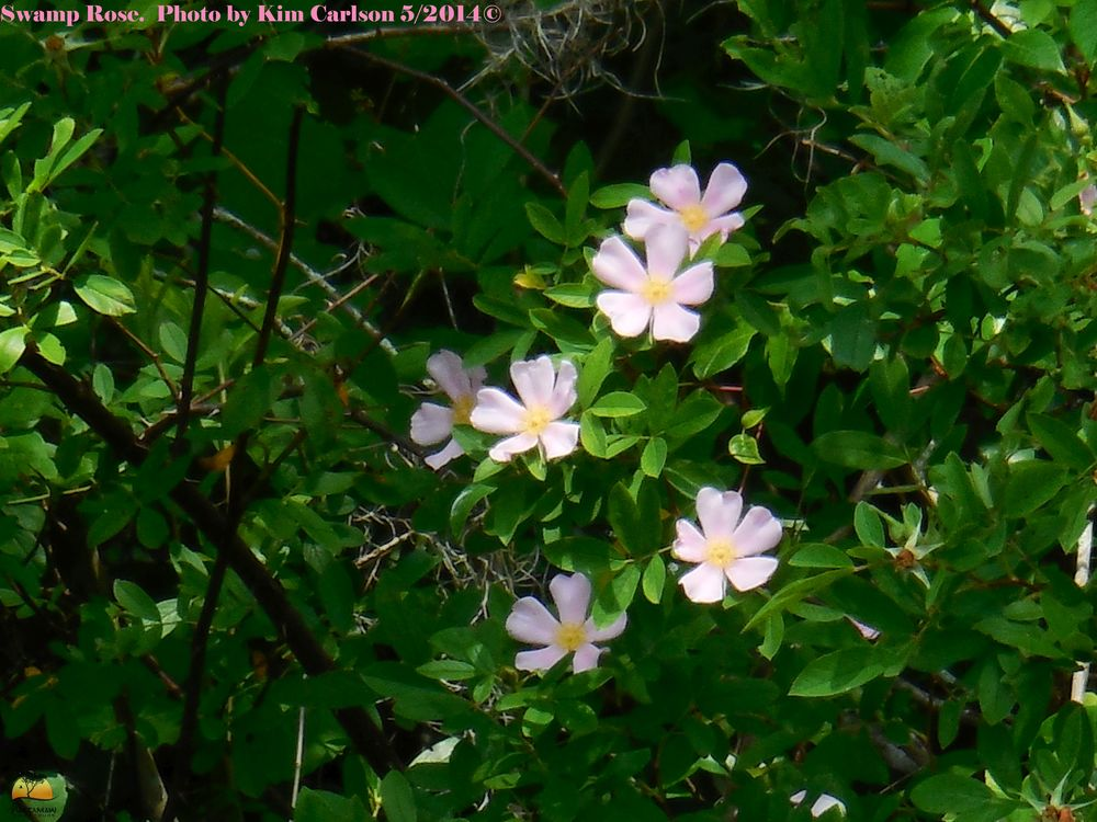 Swamp Rose watermarked.jpg