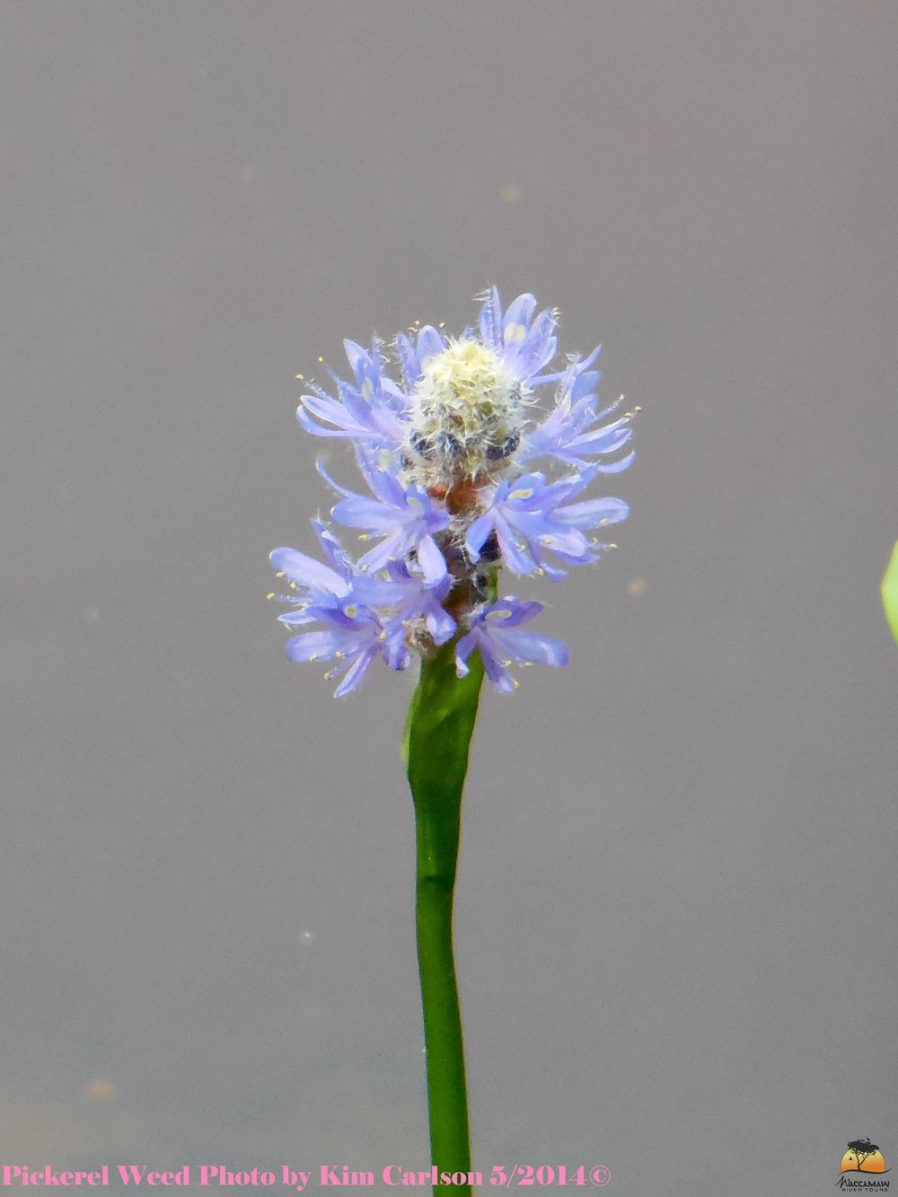 Pickerel Weed Watermark.jpg