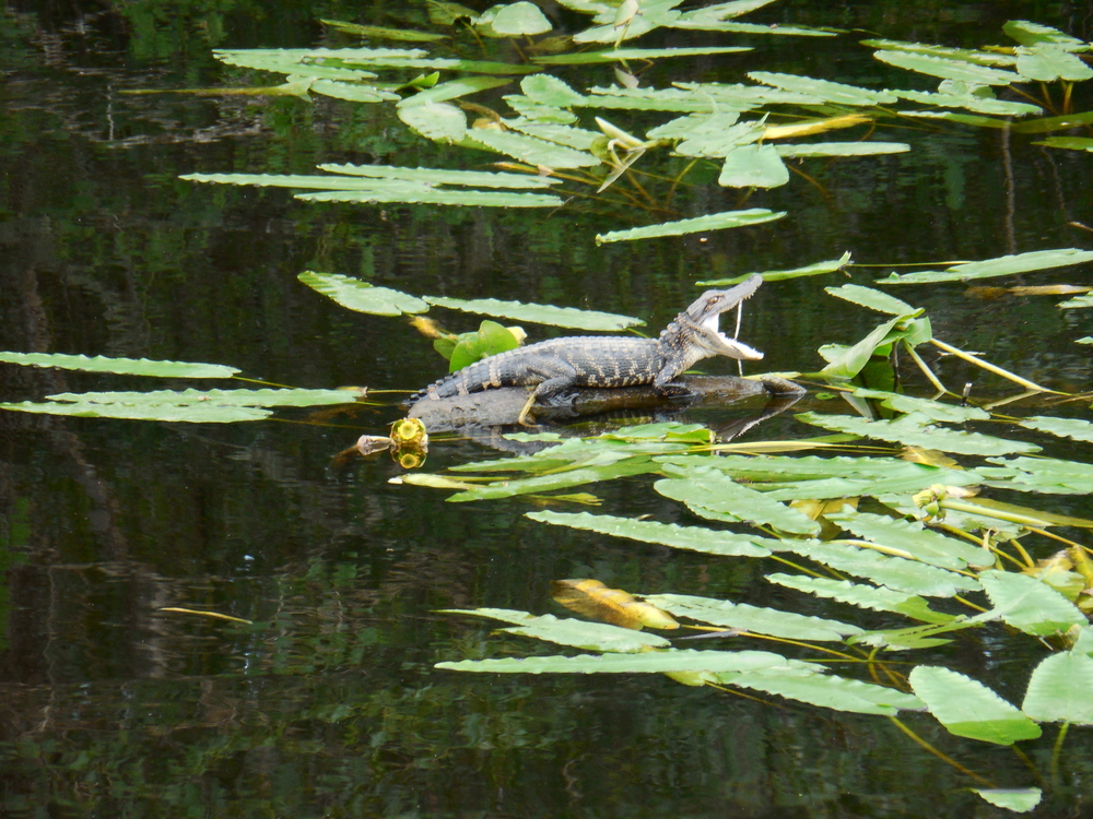 Baby alligator about 1 foot long resting on a log and yawning during a Nature & Wildlife river boat tour at Waccamaw River Tours. 7/31/14 Photo by Kim Carlson