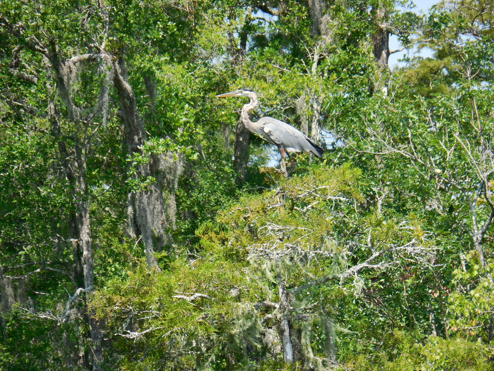 Blue Heron sitting on top of a tree.  Found during a Nature & Wildlife river boat tour at Waccamaw River Tours. 7/2014