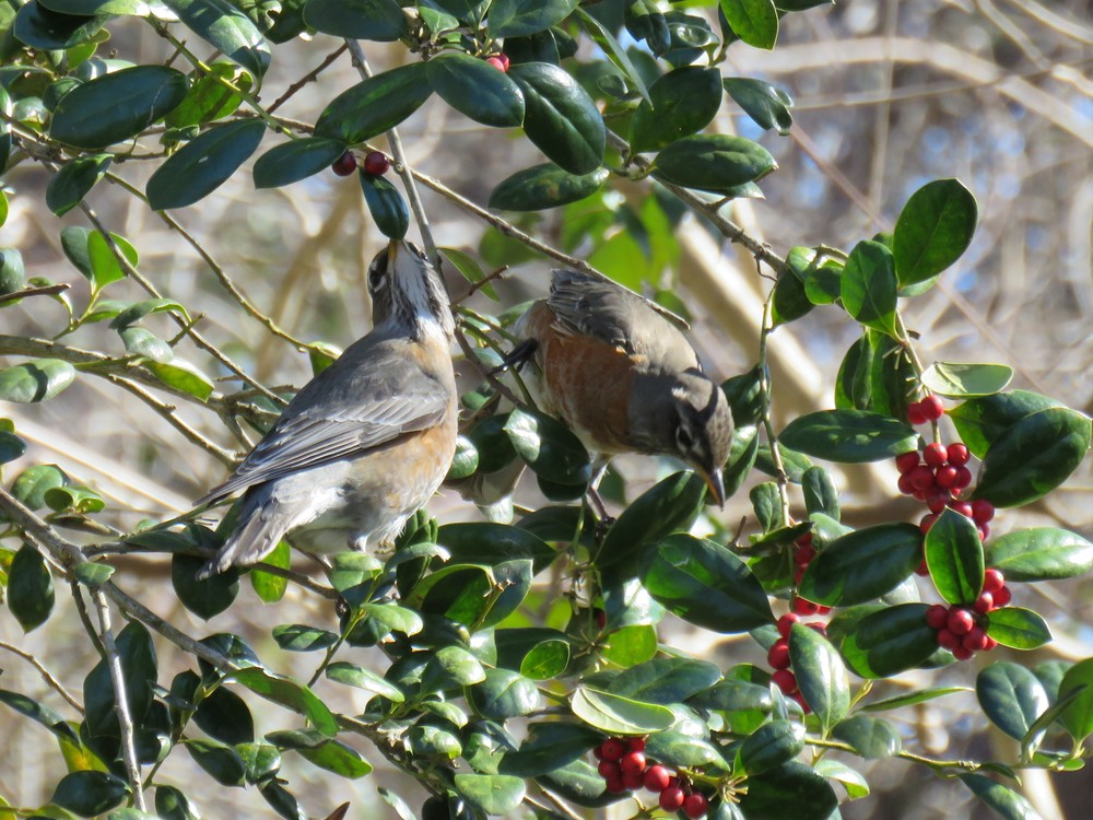 Robins have been coming in by flocks of 50 or more.  They have been feasting on Holly berries.  Photo by Kim Carlson.