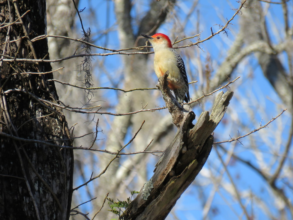 Red bellied woodpecker.  Photo by Kim Carlson
