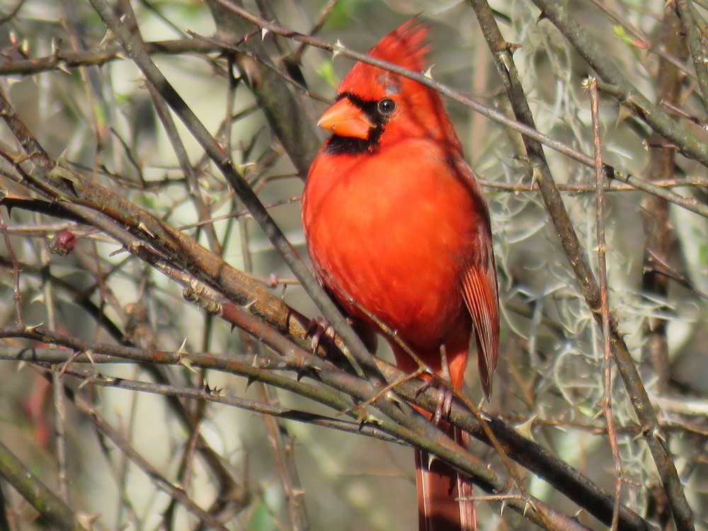 Red male cardinal.  He was sitting in the sun on a cold winter day warming up.  They are a beautiful red.