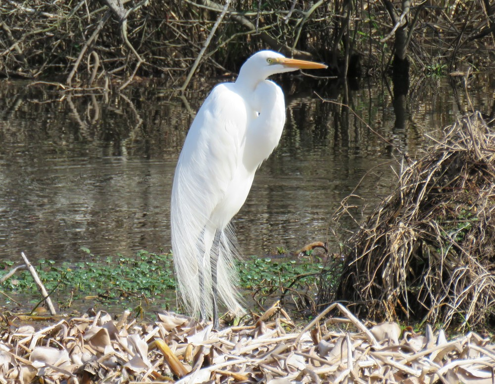 Great Egret with some of his mating plumage. Photo by Kim Carlson