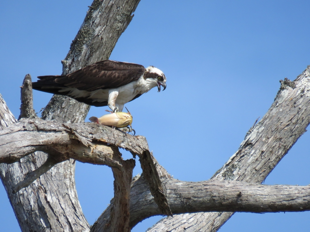 Osprey with catfish suchi.