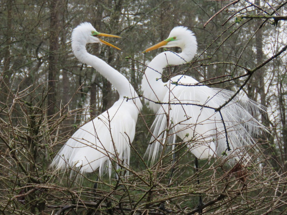 Great egrets doing the mating dance.