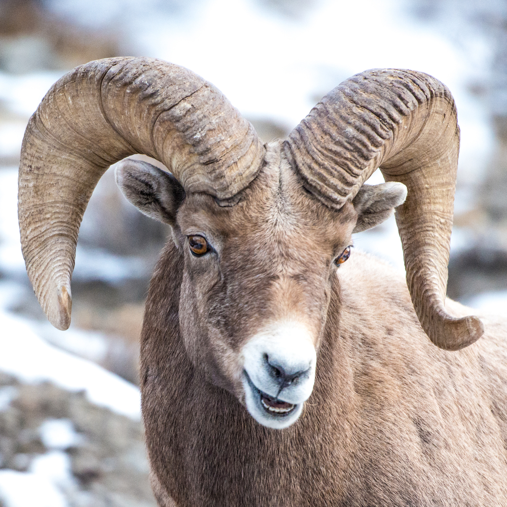 Smiley big horn sheep. Yellowstone National Park.