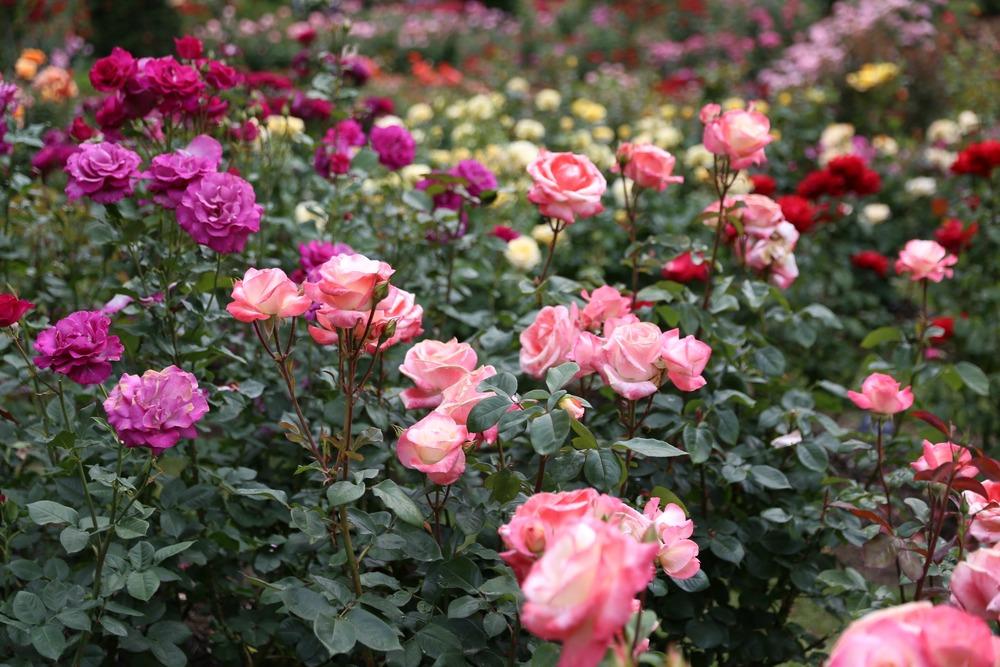 rosegarden13.jpg
