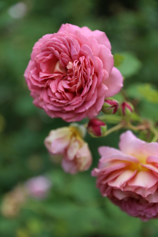 rosegarden17.jpg