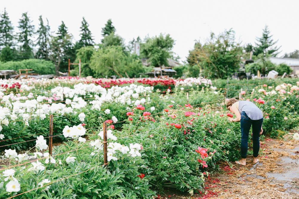 PNW Peony Farm - Oh Flora Travels-11.jpg