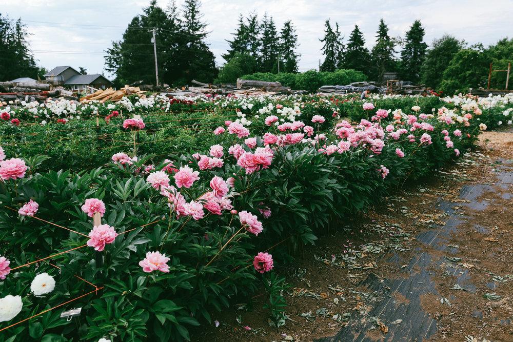PNW Peony Farm - Oh Flora Travels-18.jpg