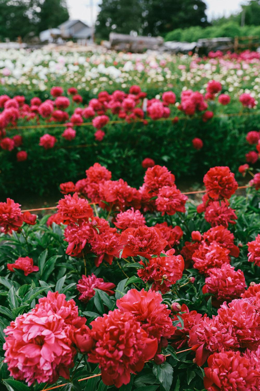 PNW Peony Farm - Oh Flora Travels-24.jpg