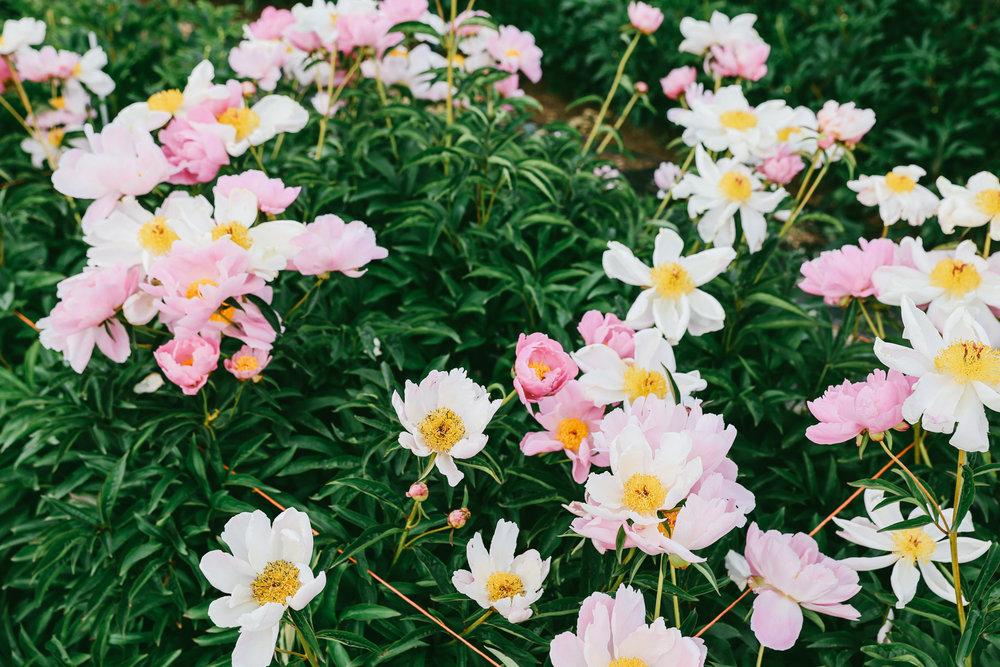 PNW Peony Farm - Oh Flora Travels-23.jpg