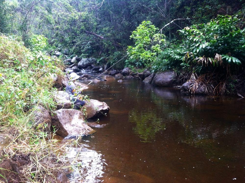 Rainbows in paradise wild trout in kauai pocket water for Fly fishing kauai