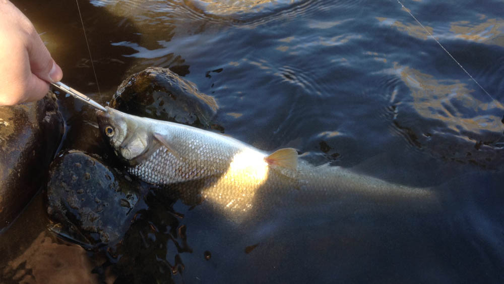 And a pretty hefty white fish took a size 20 bead head baetis kebari