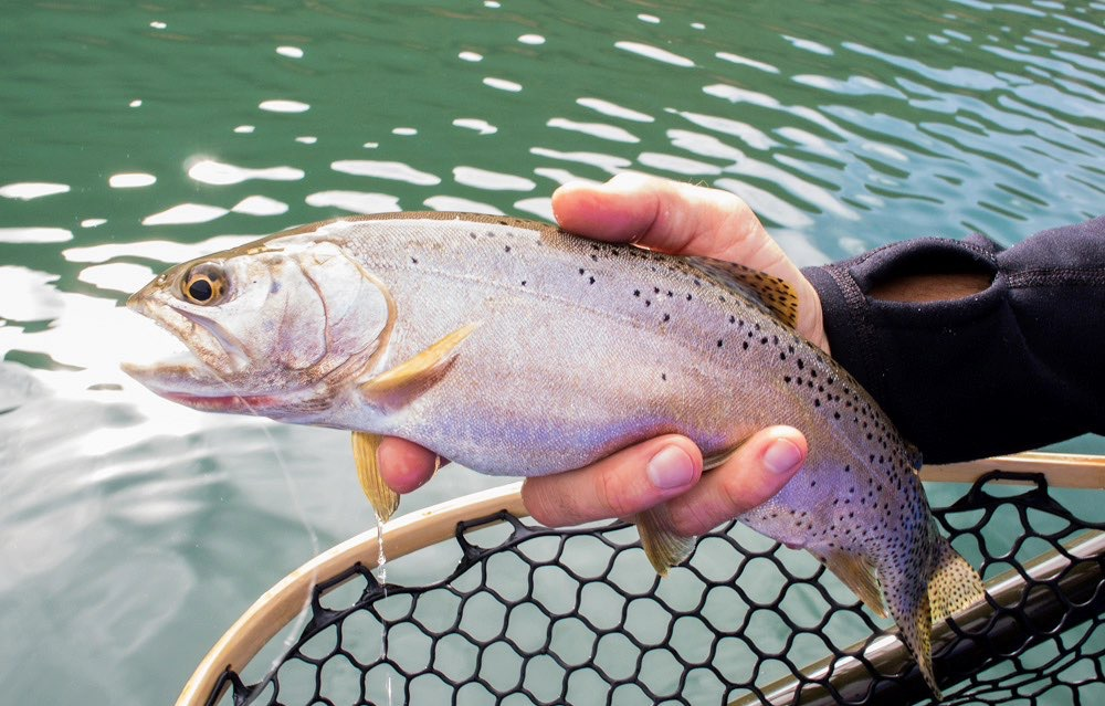 Violet to grey flanks decorate Utah's own Bonneville cutthroat