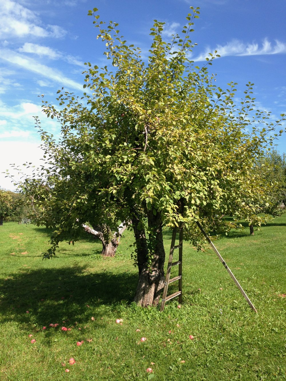 Weston's Antique Apple Orchard ladder