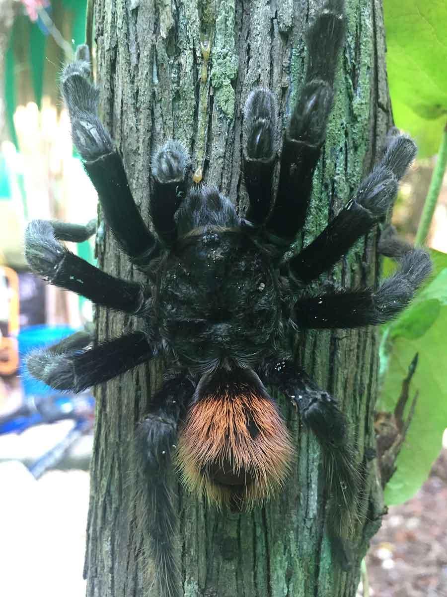 giant-tarantula.jpg