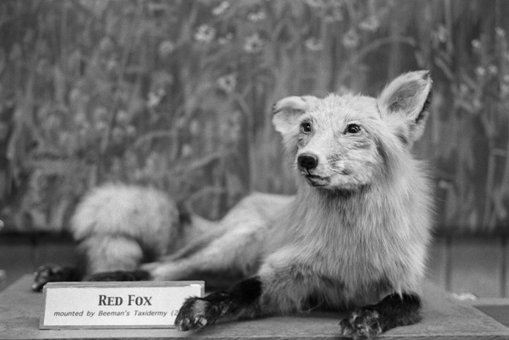 Red Fox, Quarry Hill Nature Center, Rochester, Minnesota. 2010.