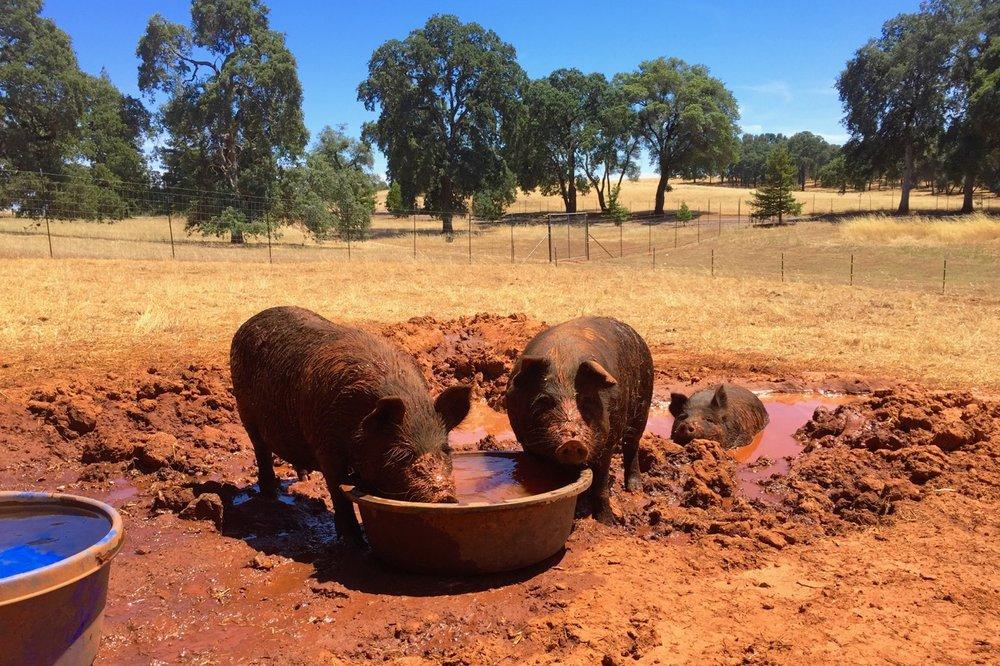 BOF Hogs Summer