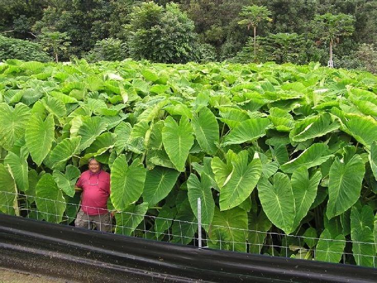 Taro Plant