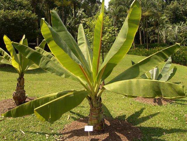 Abyssinian Banana