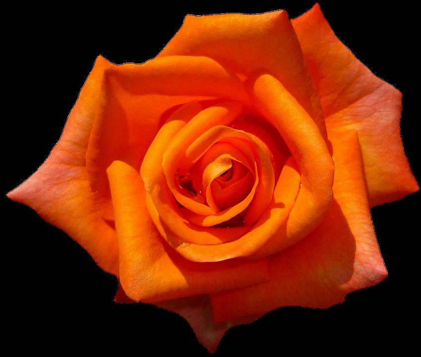 orangerose.png