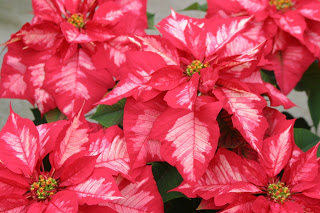 Pointsettias2.JPG