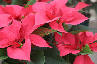 Poinsettias4.JPG