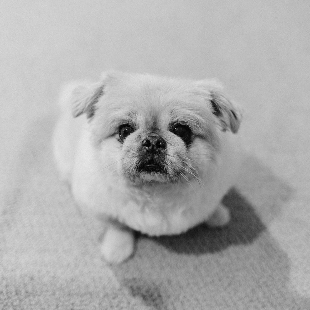 Chugs-Cute-Pekingese-Puppy