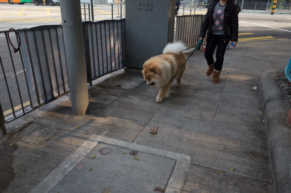 Every now and then in Kennedy Town, you see a dog. This was one majestic looking chow chow.