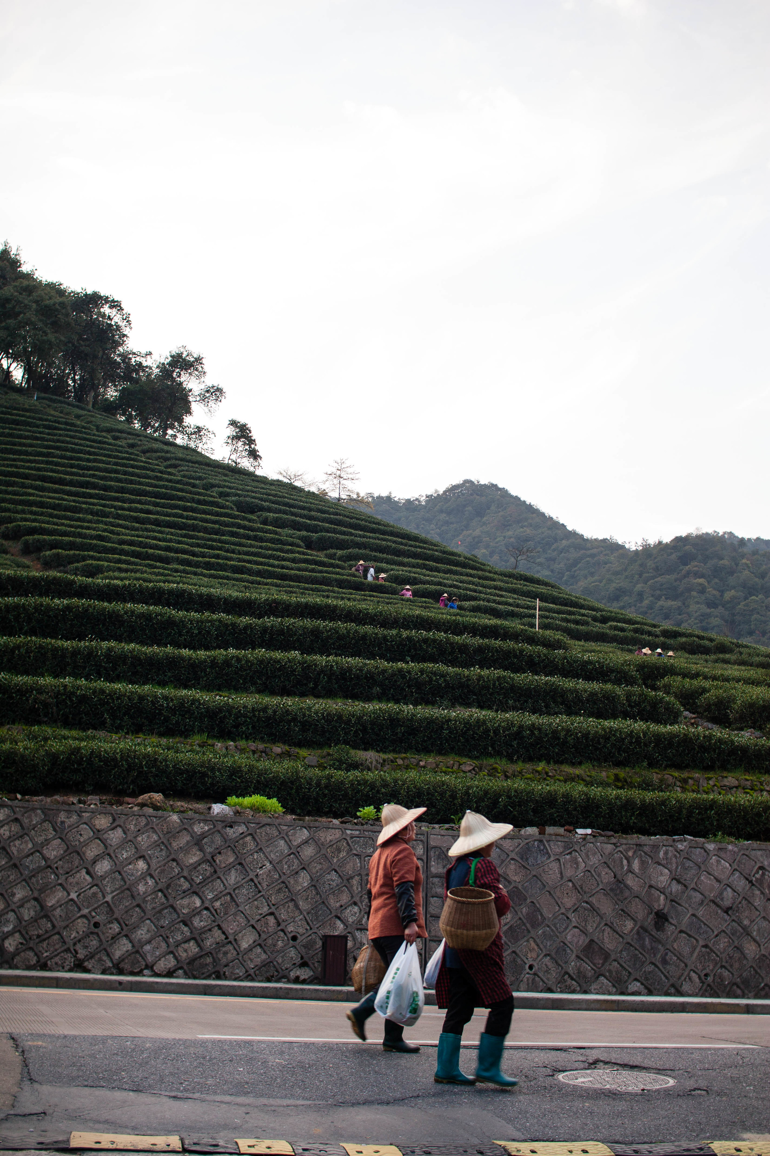 Tea fields by Huangshan City