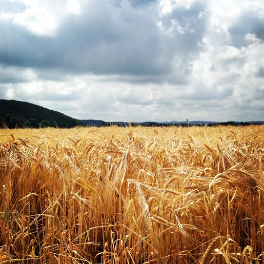 Here is a pic of the golden fields in Southern Sweden. Aren't they beautiful?!