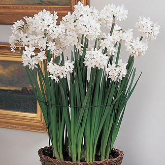 Try something new forcing paperwhites didriks try something new forcing paperwhites mightylinksfo