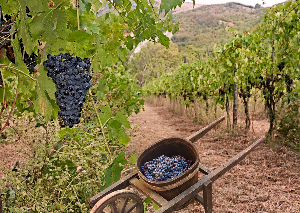 grapes and wheelbarrow.jpg