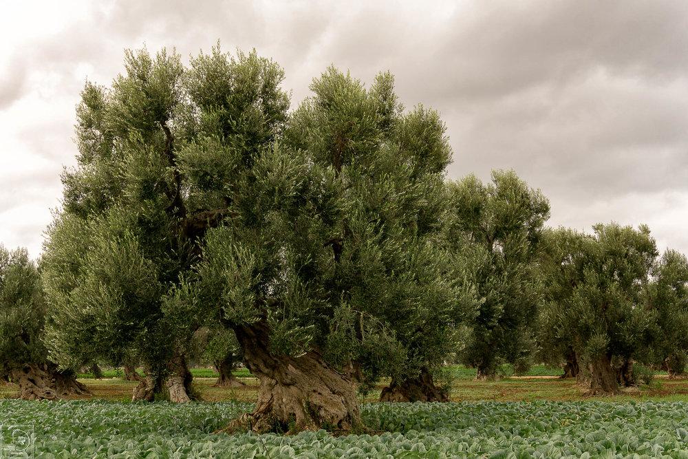 Borgo olive tree.jpg