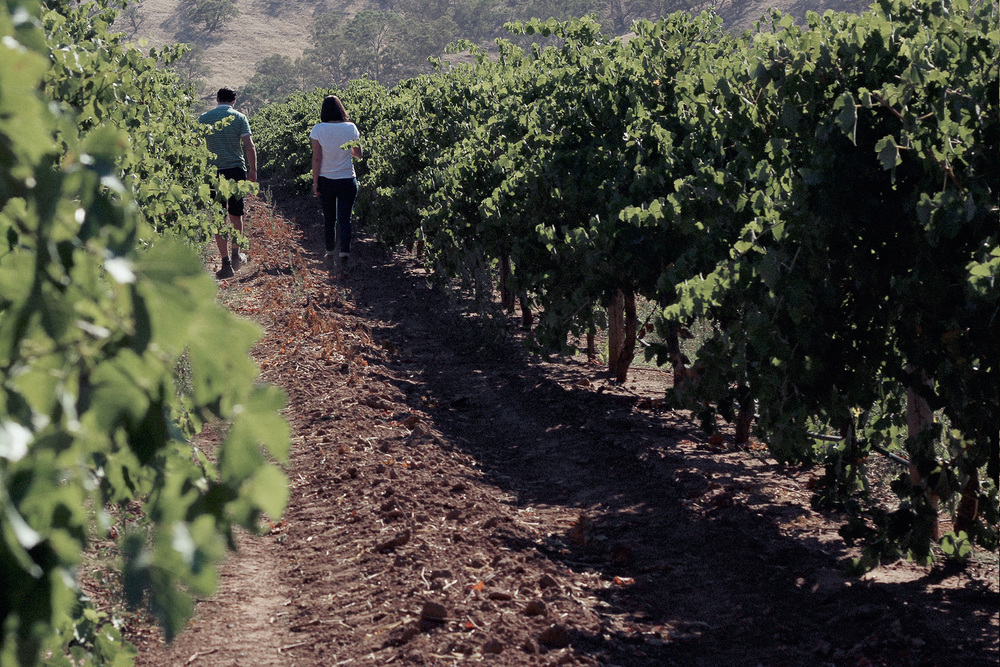 Fechner Vineyard, Moculta, Eden Valley