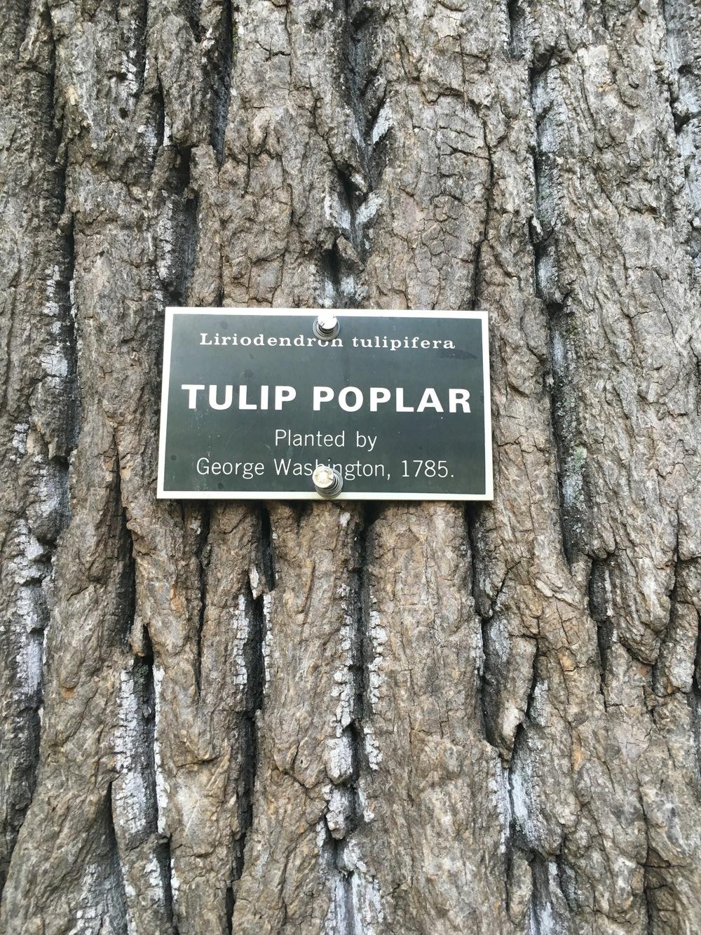 Mount Vernon Tulip Poplar