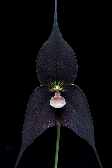 deadbirdsclub: Dracula Raven orchid. Apocalypse Mjau dark yoni