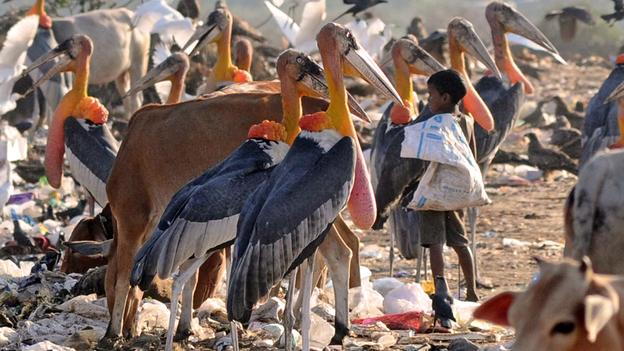 (via  BBC - Future - Science & Environment - Best science and technology pictures of the week )    Greater adjutant storks look on as a young Indian rag picker trawls through a garbage landfill at Boragoan in Guwahati, north-eastern India.