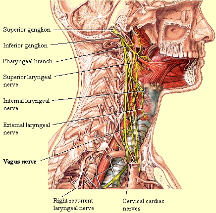 "Vagus nerve      The vagus nerve's potential for love can actually be measured by examining a person's heart rate in association with his breathing rate, what's called ""vagal tone."" Having a high vagal tone is good: People who have a high ""vagal tone"" can regulate their biological processes like their glucose levels better; they have more control over their emotions, behavior, and attention; they are socially adept and can kindle more positive connections with others; and, most importantly, they are more loving. In research from her lab, Fredrickson found that people with high vagal tone report more experiences of love in their days than those with a lower vagal tone.             via The Atlantic - No such thing as unconditional love"