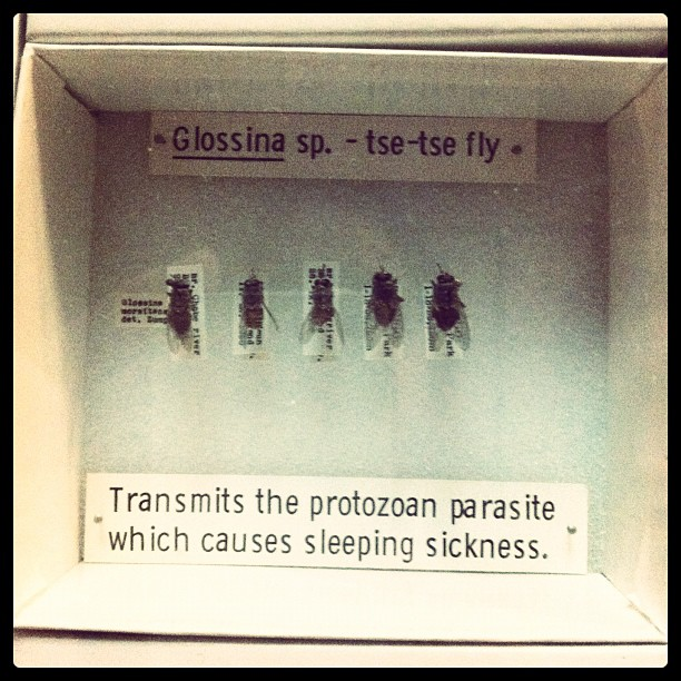 Mosca tse tse (Taken with instagram)