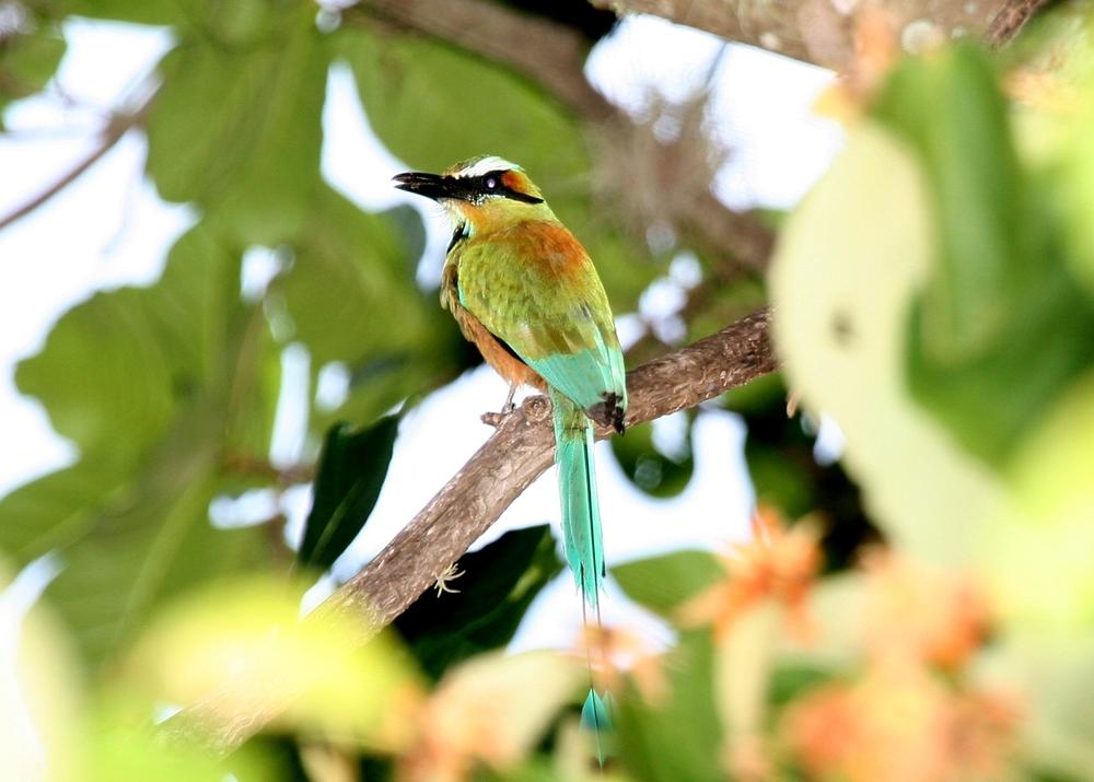"Guardabarranco  (""ravine-guard"") is Nicaragua's national bird."