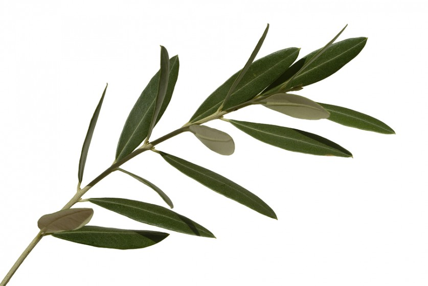 Olive Leaf.jpg