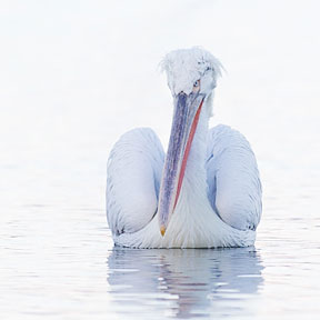 Purely Pelicans 3 day photography workshop photographing the Dalmatian Pelicans of Lake Kerkini